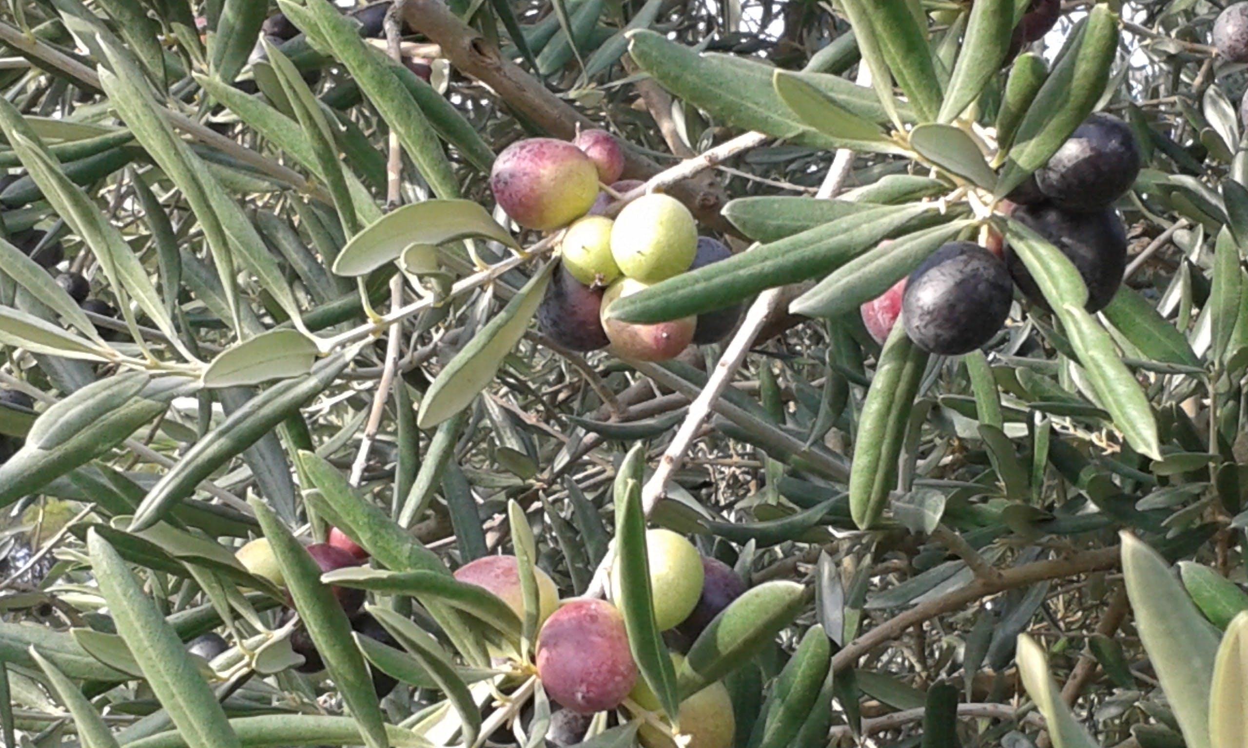 Oliva y cata de vinos en Les Baux de Provence-0