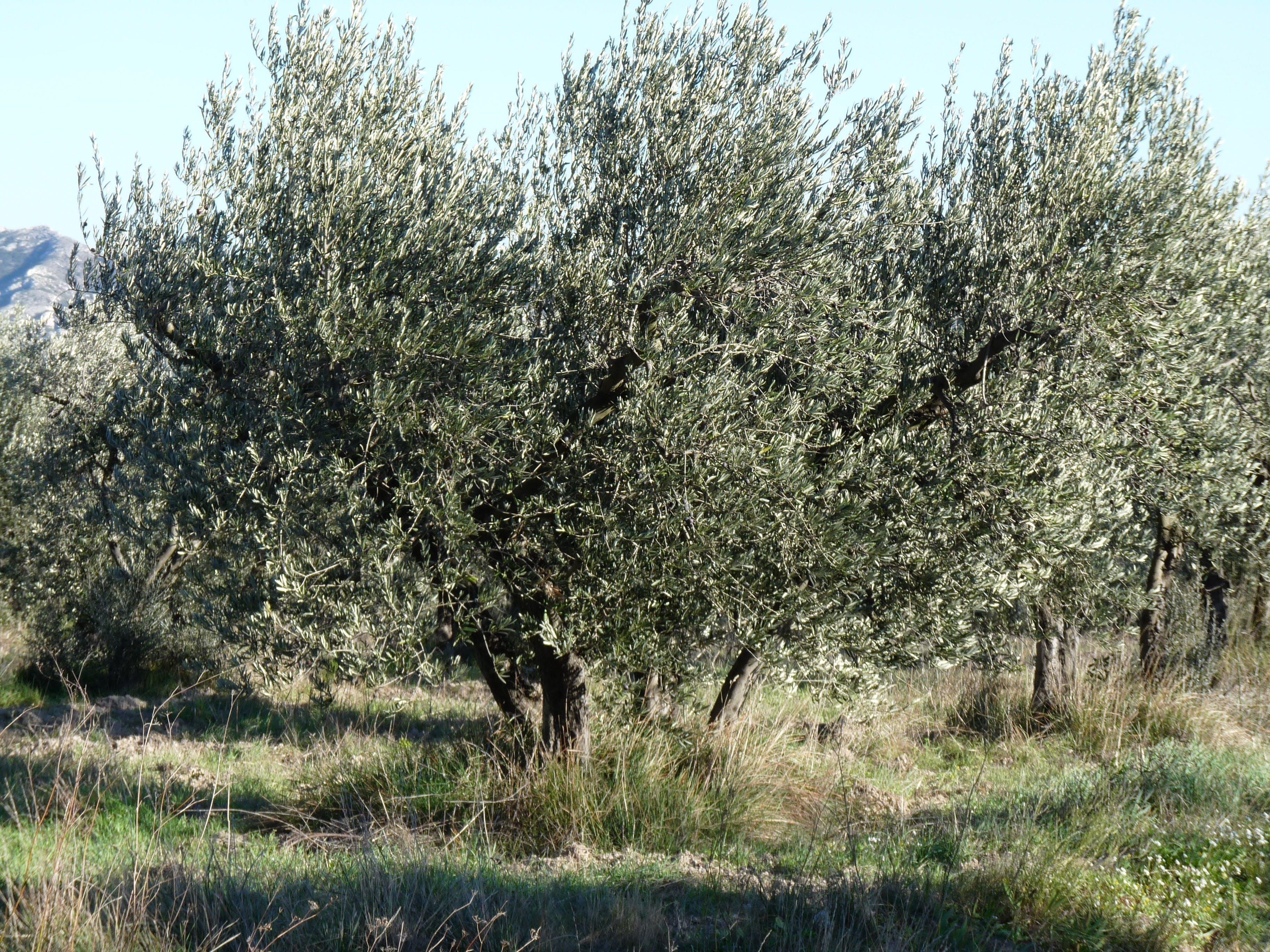 Oliva y cata de vinos en Les Baux de Provence-1